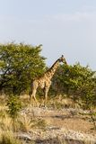 Giraffa, sosta nazionale di Etosha, Namibia Fotografie Stock