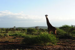 Giraffa nel paese rurale dell'Africa Fotografia Stock