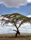Giraffa sotto un albero Immagine Stock