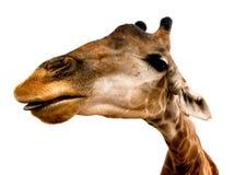 Giraffa su priorità bassa bianca Fotografie Stock