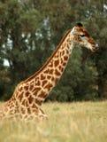 Giraffa in Sudafrica Immagini Stock