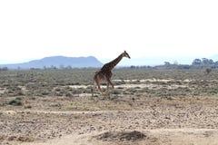 Giraffa in Sudafrica Fotografie Stock