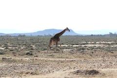 Giraffa in Sudafrica Immagine Stock Libera da Diritti