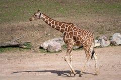 Giraffa sudafricana Fotografia Stock