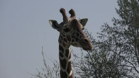 Giraffa sudafricana archivi video
