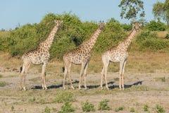 Giraffa sudafricana tre parallelamente in cespuglio Immagine Stock Libera da Diritti