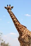 Giraffa sul cielo fotografia stock