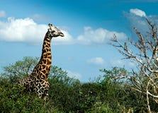 Giraffa sul safari Fotografia Stock Libera da Diritti