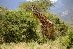 Giraffa sul Serengeti Tanzania Immagini Stock Libere da Diritti