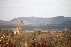 Giraffa sull'allerta Immagine Stock Libera da Diritti