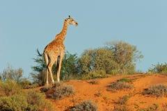 Giraffa sulla duna Fotografie Stock