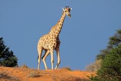 Giraffa sulla duna di sabbia, deserto di Kalahari Fotografia Stock Libera da Diritti