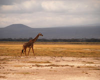 Giraffa sulla savana Fotografie Stock