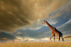 Giraffa sulle pianure africane Fotografia Stock Libera da Diritti