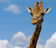 Giraffa sveglia immagini stock libere da diritti