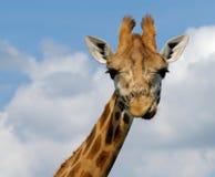 Giraffa sveglia immagini stock