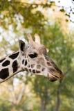 Giraffa sveglia immagine stock