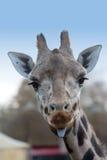 Giraffa sveglia fotografia stock
