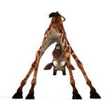 Giraffa sveglia con un fronte divertente - bello Fotografia Stock