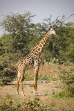 Giraffa, Tanzania. Giraffe with bush , Serengeti National Park, Tanzania stock images