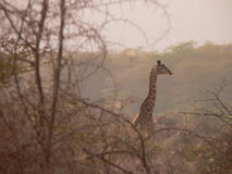 Giraffa tanzaniana Fotografia Stock