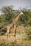 Giraffa, Tanzanie Images stock