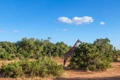 Giraffa in Tasvo national park Stock Images