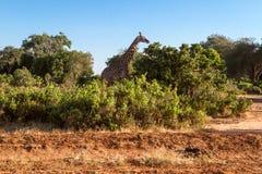 Giraffa in Tasvo national park Stock Photography