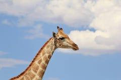 Giraffa - testa nelle nubi Immagine Stock