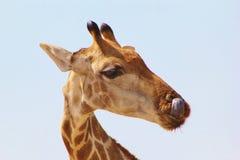 Giraffa - torsioni della linguetta Immagini Stock