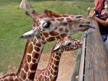 Giraffa Tounge Fotografie Stock Libere da Diritti