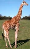Giraffa in una sosta educativa fotografia stock libera da diritti