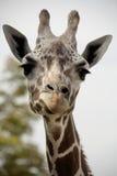 giraffa vicina in su Fotografia Stock