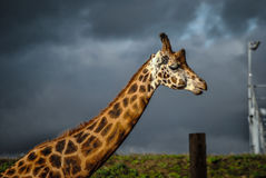 Giraffa vicina su con le nuvole di pioggia Fotografia Stock Libera da Diritti