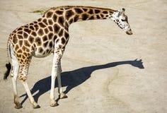 Giraffa, zoo all'aperto, Praga, repubblica Ceca Immagine Stock