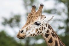 Giraffa in ZOO, Plzen, repubblica Ceca immagini stock libere da diritti
