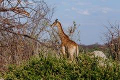 Giraffacamelopardalis in nationaal park, Hwankee Stock Foto's