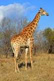 GiraffAfrika Savannah Arkivbild