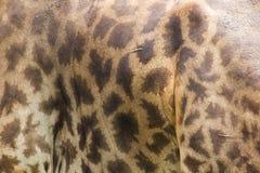 Giraffahud har ett s?rskiljande gult och m?rkt royaltyfri fotografi