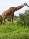 Giraffamasai lizenzfreie stockfotos