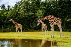 Giraffamilie Royalty-vrije Stock Afbeelding