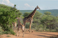 Giraffamilie Royalty-vrije Stock Fotografie