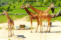 Giraffamilie Stock Afbeeldingen