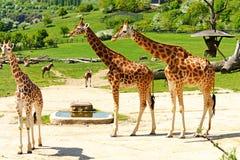 Giraffamilie Stock Foto's