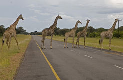 Giraffas στο δρόμο στοκ φωτογραφία με δικαίωμα ελεύθερης χρήσης