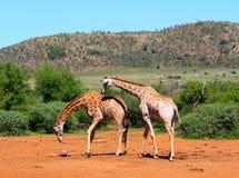 Giraffas Immagini Stock Libere da Diritti