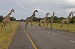 Giraffas na drodze Zdjęcie Royalty Free