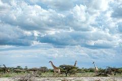 Giraffas, Namibië, Afrika Royalty-vrije Stock Fotografie
