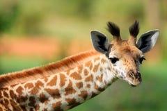 giraffbarn Royaltyfri Bild