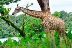 giraffbarn Royaltyfri Foto